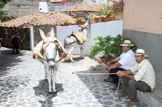 Men with donkeys of #GuiadeIsora #Tenerife during the 'Day of Traditions'
