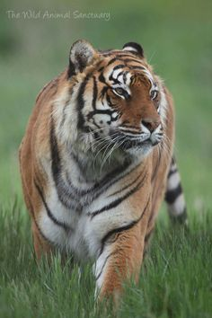 Tiger Wild Animal Sanctuary Colorado, Animals Beautiful, Cute Animals, Save The Tiger, Cute Animal Pictures, Tigers, Cats, Bright, Google
