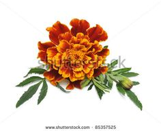 http://image.shutterstock.com/display_pic_with_logo/411037/411037,1317015083,2/stock-photo-marigold-flower-tagetes-patula-isolated-on-white-background-85357525.jpg