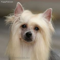 Chinese Crested Pictures (tilb5w2aq5f)