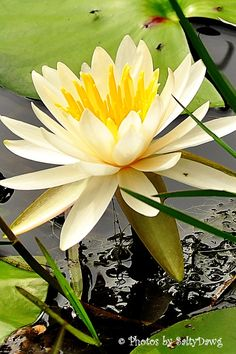 Water Lilly 1  8x12 Metallic Paper by SaltyDawgTrading on Etsy, $30.00