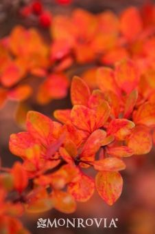 Lime Glow Japanese barberry Monrovia - Yahoo Image Search Results