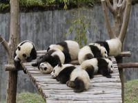 Panda Bären