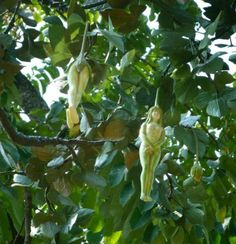 Narilatha flower plants grow in the Himalayan region in India and they bloom at 20-year intervals. The trance of hermits is said to be shattered at the sight of these flowers which are in the shape of women .This flower was in the shape of a naked woman, and said to be as a rare flower.