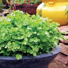 Growing Cilantro - Sunset Sow seeds thickly in a wide, shallow container; then, as soon as plants are 3 to 4 inches tall and sporting a couple of cuttable leaves, use scissors to cut off some foliage for cooking as shown.  Shear from a different section of the container every time, rotating the pot as you go and never letting plants in any area mature. By the time you get back to the first section harvested, new leaves will have appeared.