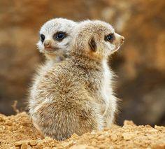 meerkats | 20 Pictures of Adorable and Cute Baby Meerkats