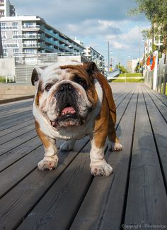 Biffen the Bulldog from IKEA commercials ~ she's perfect!