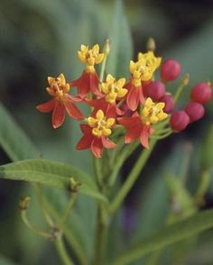 Among the plants that blossom in the last half of summer and continue gloriously into fall is blood flower (Asclepias curassavica). The red-and-yellow color of its flower explains its other—prettier—name of sunset flower.