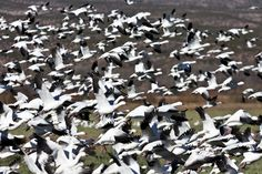 Snow geese rise into the air at Bosque del Apache, New Mexico -- amazing! -- http://www.examiner.com/slideshow/november-at-bosque-del-apache-nwr