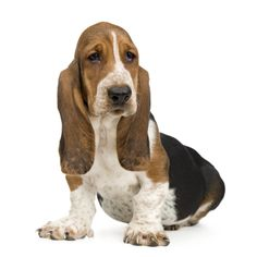 While the Basset Hound is generally a healthy and robust dog breed, it is susceptible to certain illnesses, diseases and disorders. Description from omurtlak.bloguez.com. I searched for this on bing.com/images