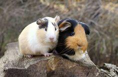 The History of Guinea Pigs | Guinea Pigs | Guinea Pigs | Guide ...