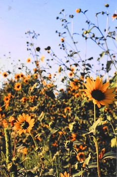 kansas sunflower fields