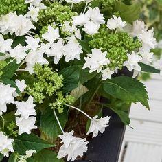 Hydrangea macrophylla Shooting Star - Des inflorescences plates, en dentelles de fleurs étoilées blanc pur, doubles.