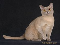 Burmese Cat Breed Information and Pictures Bombay Cat, Cat Skull, Brown Cat, Crocodiles, Cat Sleeping, Burmese, Cats And Kittens, Kitty Cats, Cat Breeds