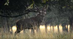 GREAT HUNTING: Jelen se ozývá troubením při svítání nebo naopak p...