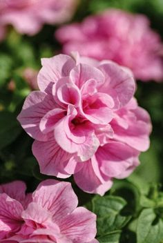 Petunia, Double Wave repel aphids, tomato hornworm, asparagus beetles, leafhoppers, and squash bugs.