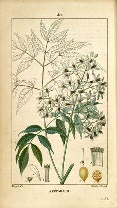 flore medicale - flore medicale - azedarach lilas des indes margousier arbre saint a chapelet - Gravures, illustrations, dessins, images