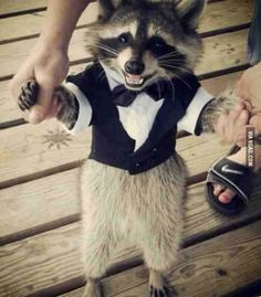 Ha Ha look at this raccoon dressed in a tuxedo. He thinks he is going to the prom or something.
