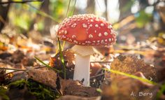 Red fly agaric by Arnstein Berg on 500px