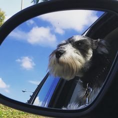"193 Likes, 1 Comments - Sir William Bernard I (Wilbur) (@sirwilliambernardthefirst) on Instagram: ""Objects in mirror are more awesome than they appear... ❤️ #windinmyhair #headoutthewindow…"""