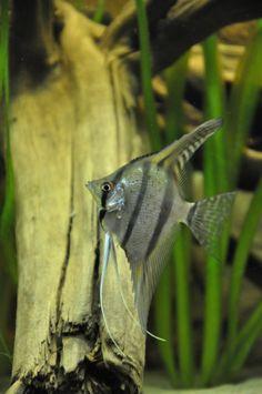 Peru altums foto's van maanvis soorten | Discus & Maanvissen | Het Nederlandstalig AquaForum