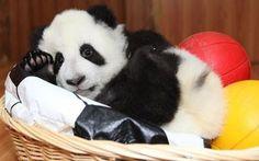 Panda in a basket.
