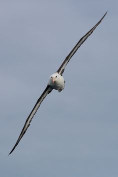 Sea birds - Black-browed Albatross - Majestic birds with a 6 feet wing span.