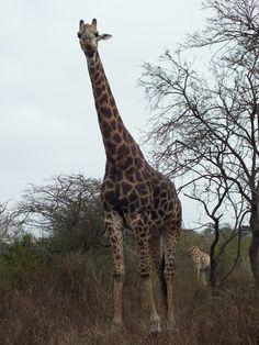 Giraffe, Bisley Nature Reserve, Pietermaritzburg, South Africa Community Service, Nature Reserve, South Africa, Giraffe, History, Animals, Felt Giraffe, Historia, Animales