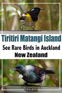 Tiritiri Matangi Island is an open bird sanctuary about 30 km from central Auckland, New Zealand. It is home to many rare and endangered birds, as well as common birds. All are wild, free to come and go as they please. It's one of the best day trips from Auckland. #birds #endangeredbirds #AlbomAdventures #tiritiri #birdwatching #Auckland #NewZealand