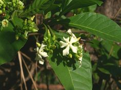 Depuis des siècles, les guérisseurs de l'archipel africain de Sao Tomé-et-Principe prescrivent des feuilles et de l'écorce d'un petit arbuste local, le Voacanga africana afin de diminuer l'inflammation et soulager les troubles mentaux. Le pouvoir de ce végétal pourrait bien dépasser les croyances locales puisque les scientifiques du Salk Institute for Biological Studies, un centre …