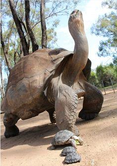 jabuti gigante de galapagos e sua familia