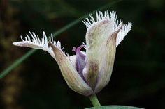Star Tulip - Florais da California