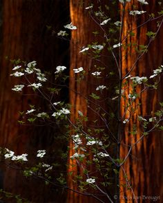 Spring in California's Sequoia National Park is one of the most magical experiences I've witnessed. Dogwood blooming alongside of Redwood trees.