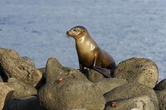 Looking for Mom - Young sea lion is looking for its mother on volcanic rocks of Lobos, Galapagos Islands, Ecuador.
