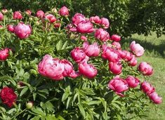 - - (notitle) In the Garden Beautiful Flowers, Horticulture, Planting Flowers, Flowers, Growing Peonies, Garden Photography, Flower Garden, Urban Garden, Potager Garden