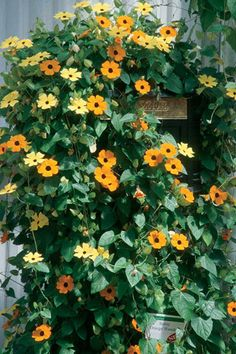 For the trellis to hide the pool equipment. Black-eyed Susan vine can go from seed to covering an entire trellis in just one season