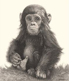 Detailed pencil drawing of a baby chimpanzee sitting and holding it's foot.
