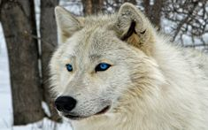 Arctic Wolf with Blue Eyes Wolf Photos, Wolf Pictures, Anime Wolf, Wolf With Blue Eyes, Wolf Goddess, Wolf Predator, Arctic Wolf, Fantasy Wolf, Wolf Wallpaper