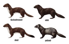 How to Draw Animals: Weasels, Stoats, Minks, Polecats and Ferrets - Tuts+ Design & Illustration Tutorial