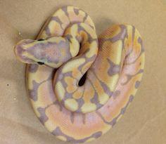 Leopard Coral Glow Ball Python Pretty Snakes Pinterest