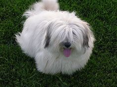 Coton de Tulear - I think I would name him Slippers because he's so fuzzy.