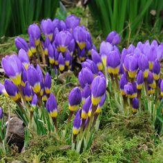 Gelb, Weiß, Violett - der Krokus Crocus sieberi Tricolor vereint, wie der Name verrät, drei Farben in einer jeder Blüte. Er wird als Blumenzwiebel im Herbst gepflanzt.