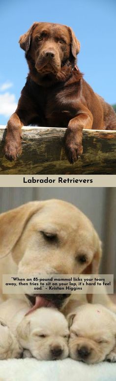 Head to the webpage to read more about Labradors Click the link to read more...