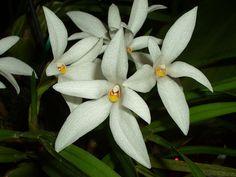 Image result for Maxillaria pulchra