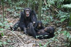 A New Type Of Anthrax Found In Africa Is Killing Chimpanzees