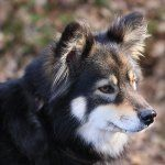 Finnish Lapphund high definition photo