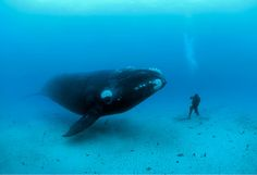 Right Whale by Brian Skerry
