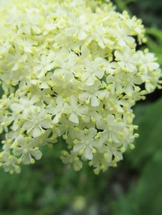 Some other things flowering in the garden Elderberry And Elderflower, Hydrangea Paniculata, Veggie Gardens, Medical Art, Shade Trees, Flowering Trees, Get Outside, Container Gardening, Shrubs