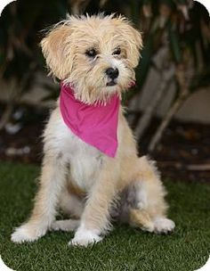 San Pedro, CA - Maltese/Terrier (Unknown Type, Medium) Mix. Meet Piccolina, a puppy for adoption. http://www.adoptapet.com/pet/13026063-san-pedro-california-maltese-mix