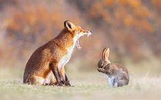 Lataa kuva fox, jänis, virne, pelko, wildlife